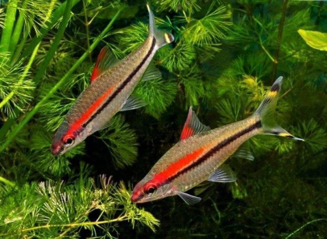 С какими другими рыбками суматранский барбус имеет хорошую совместимость, а с какими не уживается?
