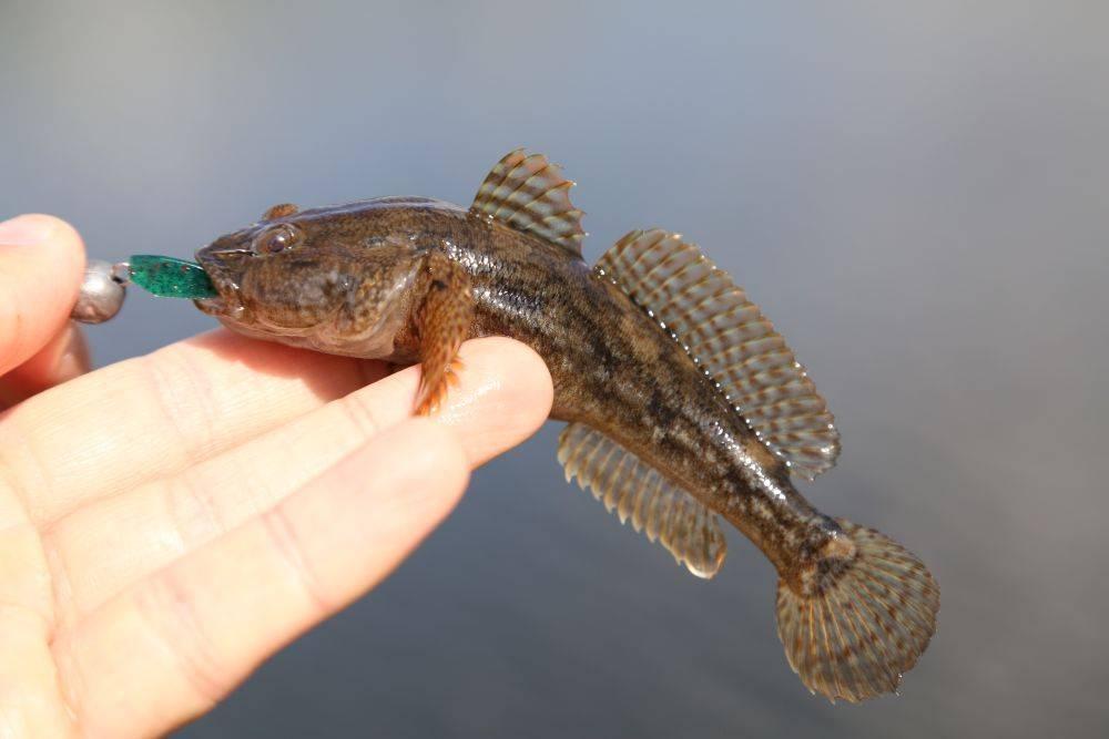 Какая рыба сегодня разрешается к вылову: допустимые размеры, чтобы инспектор не поймал