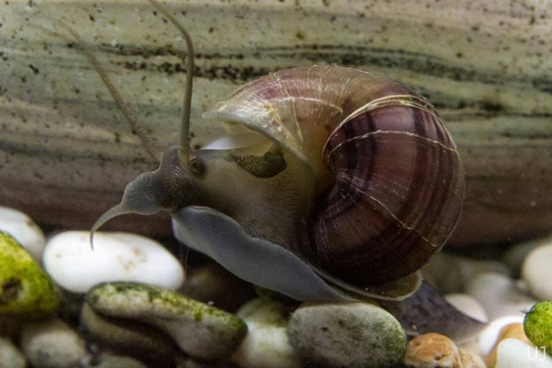 Улитка мелания в аквариуме: вред или польза, содержание, размножение, как избавиться