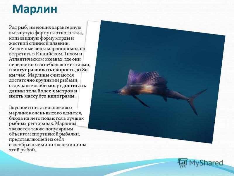 Рыба марлин: чем полезна и чем вредна