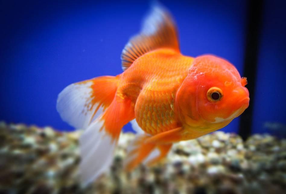 Золотая рыбка – описание, виды и породы, чем кормить, фото, уход