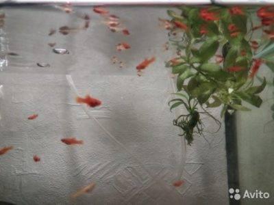 Меченосец аквариумная рыбка: содержание, совместимость, размножение, фото-видео обзор