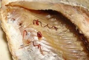 Глисты в рыбе: какие бывают, можно ли есть и что делать?