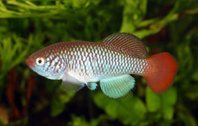 Разведение аквариумных рыбок: как правильно в домашних условиях
