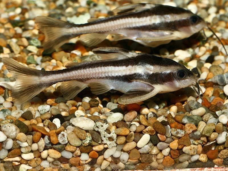 Аквариумная рыбка платидорас полосатый сом: содержание и совместимость