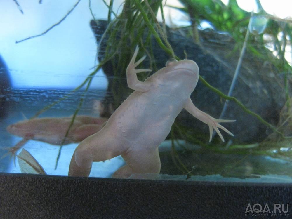 Шпорцевая лягушка: содержание и уход, размножение, виды (альбинос, гладкая), кормление, определение пола, совместимость