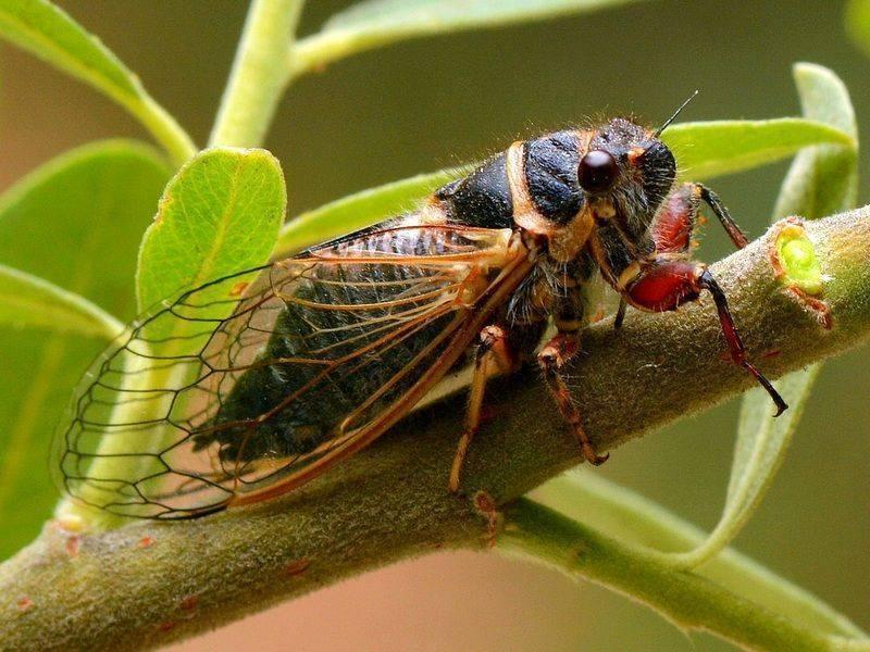 Муха журчалка (осовидка): среда обитания, мимикрия, вред и польза