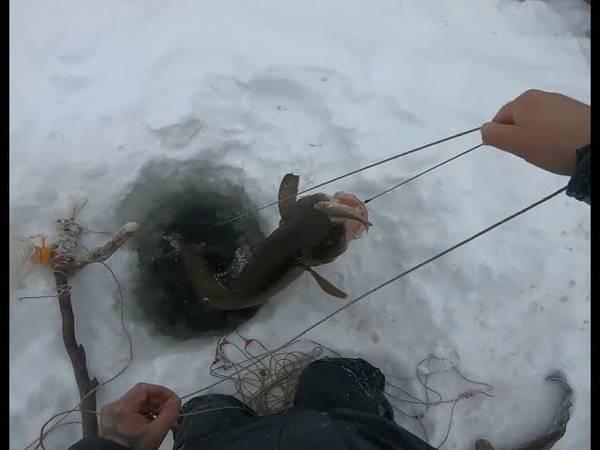 Особенности ловли налима по первому льду – поиск точек и троп, правильные снасти
