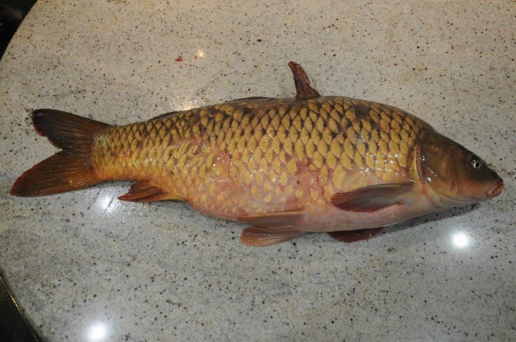 Рыба сазан?: фото и описание. как выглядит сазан?, чем питается и где водится