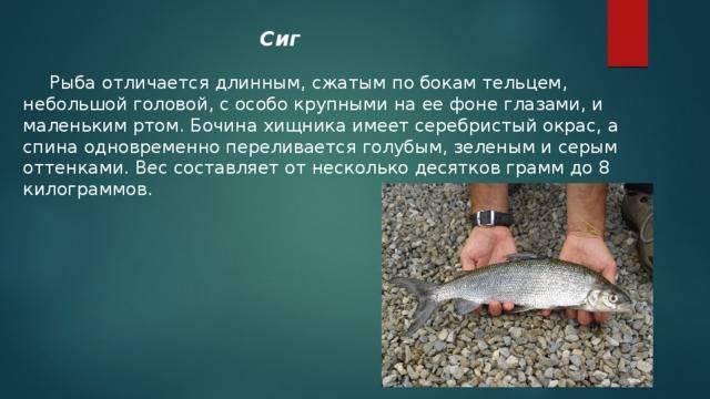 Разновидности сиговых рыб и особенности их ловли