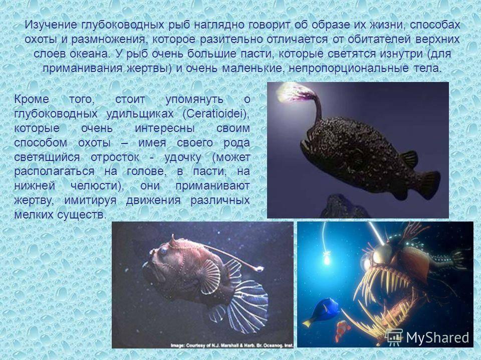 Тетра-фонарик (hemigrammus ocellifer): описание,фото,видео
