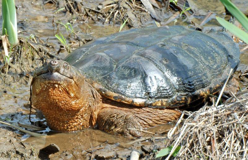 Мускусная черепаха: фото, описание, содержание, разведение, питание мускусная черепаха: фото, описание, содержание, разведение, питание