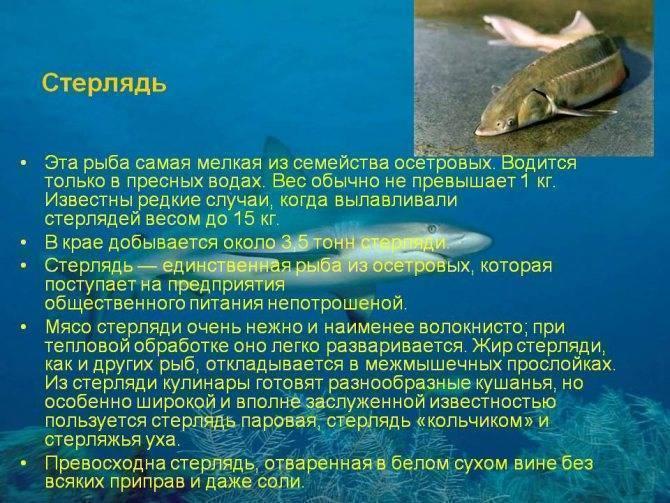 Калуга амурская: где водится осетровая рыба, образ жизни и размножение
