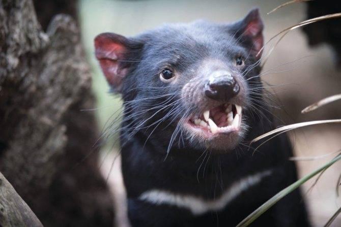 Блесна «тасманский дьявол» (18 фото): виды приманки и назначение снасти «тасман». для какой рыбы наживка?
