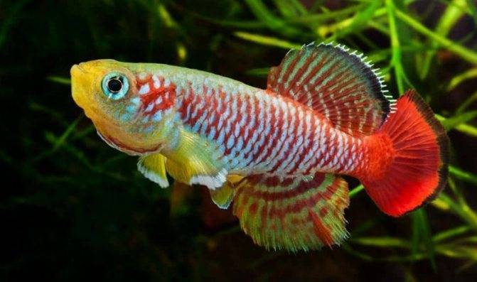 Нотобранхиус рыбка. описание, особенности, виды и уход за нотобранхиусом | животный мир