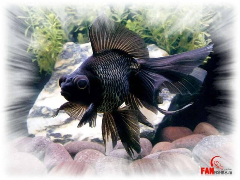 Телескоп рыбка: фото, содержание, разведение, совместимость, видео телескоп рыбка: фото, содержание, разведение, совместимость, видео