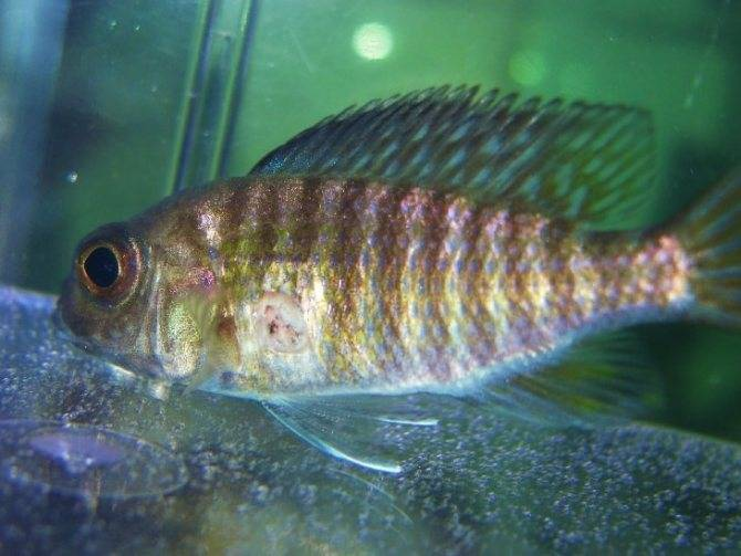 Колумнариоз у рыб — лечение в общем аквариуме и причины появления