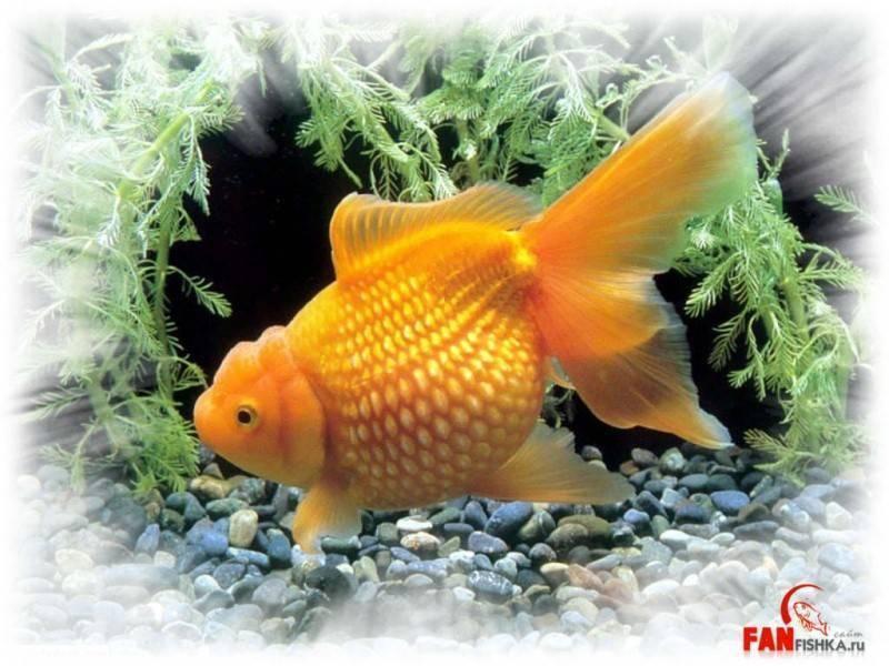 Обитание, описание и поведение рыбы телескопа в домашних условиях
