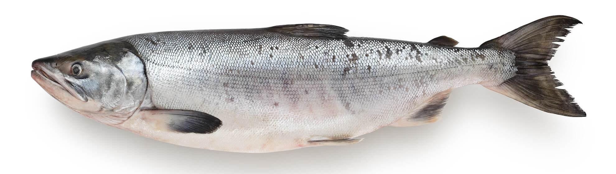 Рыба нерпа или нерка. что за рыба - нерка. полезные качества рыбы