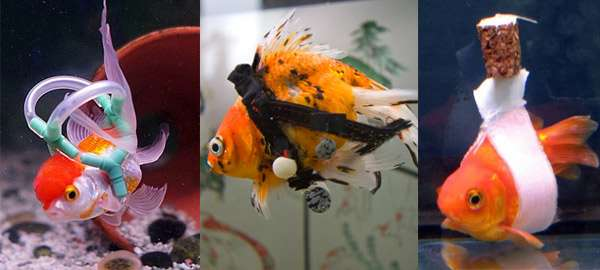 Золотые рыбки: совместимость с другими рыбками