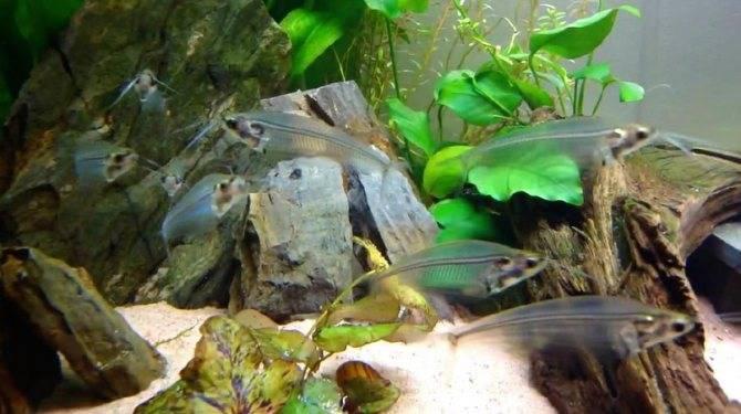 Сомик агамикс звёздчатый: особенности содержания и питания, совместимость, условия размножения