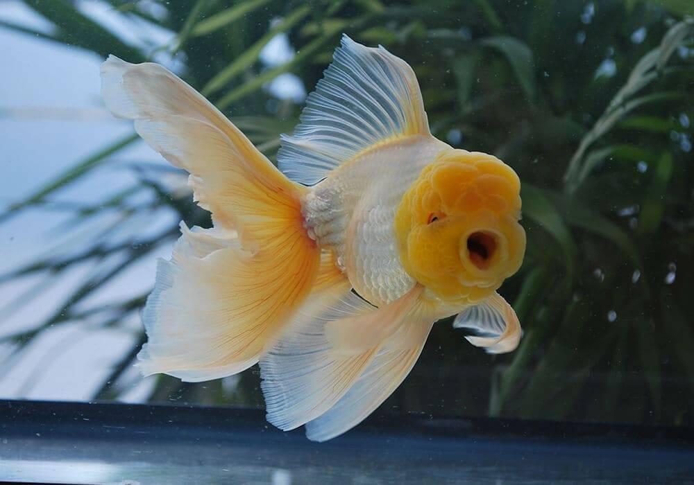 Рыба оранда: особенности, виды и содержание