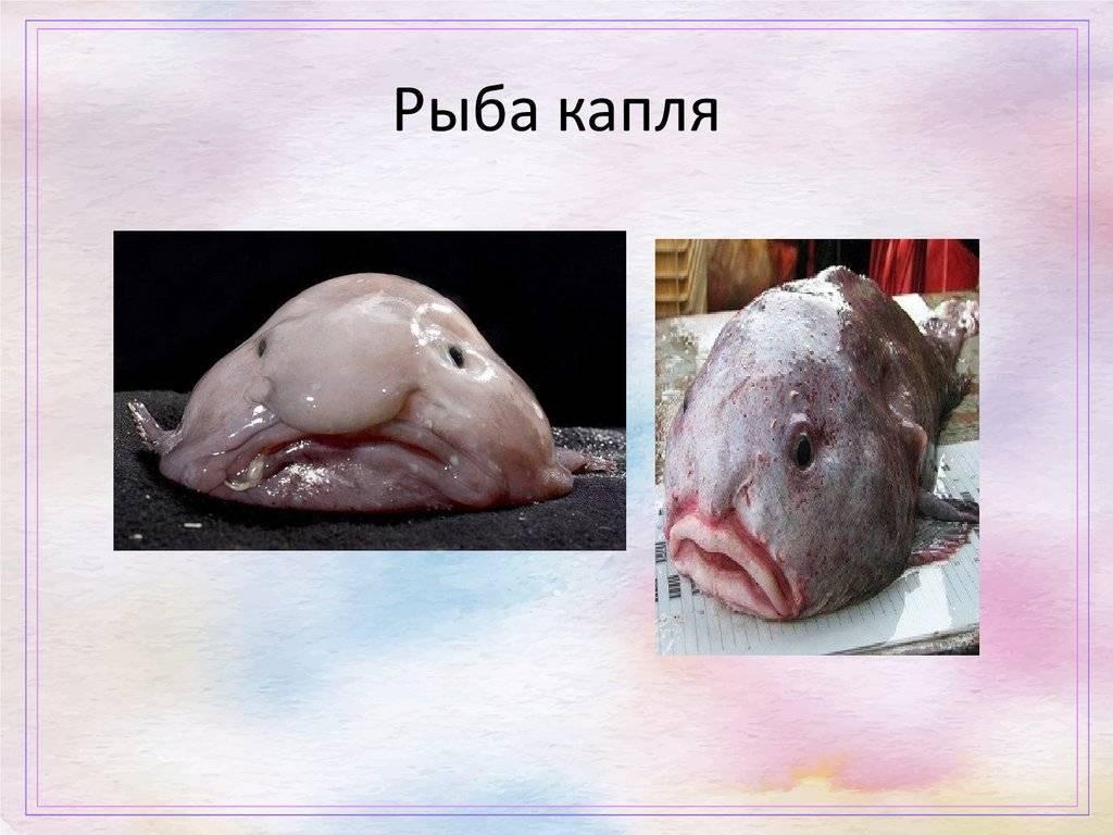 Рыба-капля: самая печальная рыба на земле (8 фото + текст)