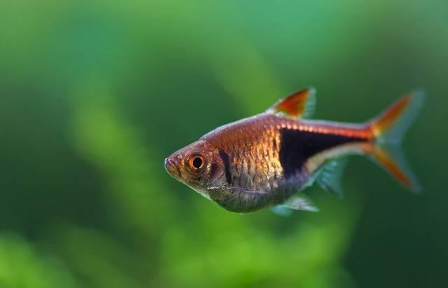 Стифодон — маленький аквариумный ловкач.