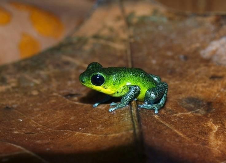 Самые ядовитые лягушки в мире: топ-8 опасных лягушек
