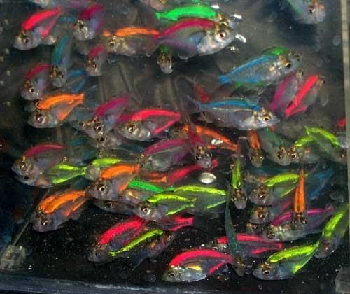 Стеклянный сом или рыба призрак: содержание, совместимость, фото