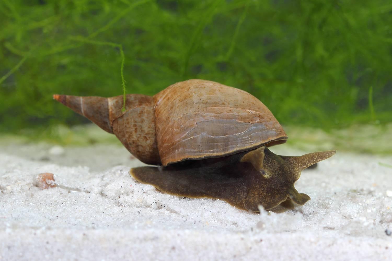 Улитка прудовик: виды, описание, фото
