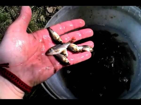 Особенности разведения карпа в маленьком домашнем пруду: выращивание и размножение, чем кормить для быстрого роста
