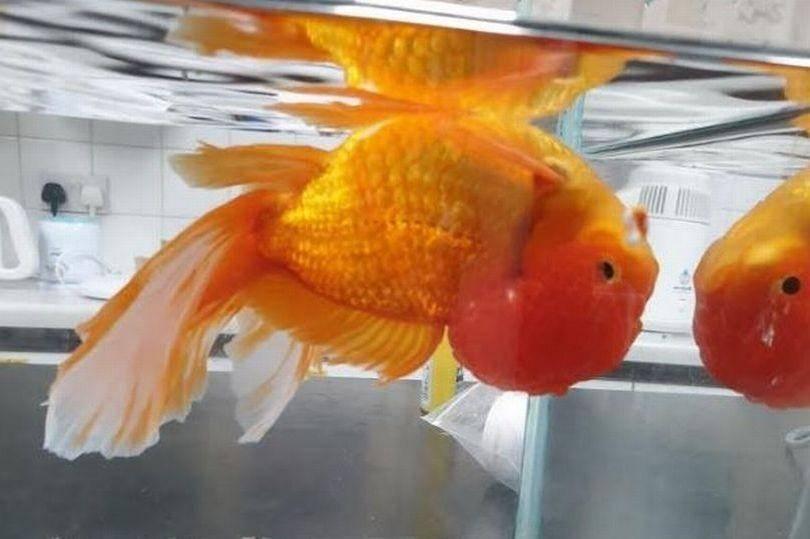 Золотые рыбки: отрастут ли поврежденные хвосты - ответы и советы на твои вопросы