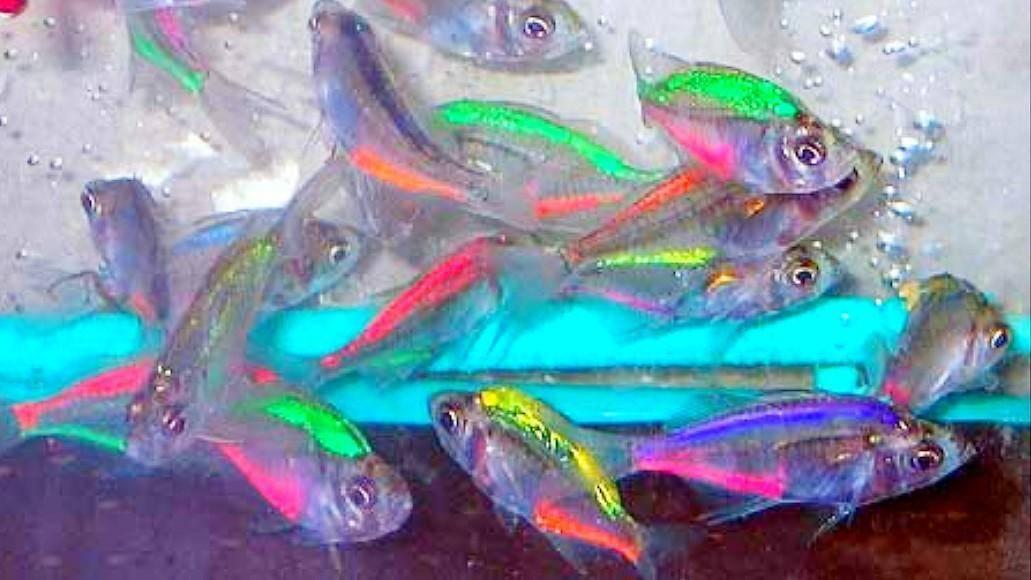 Аквариумная рыбка: стеклянный окунь. chanda ranga. индийский стеклянный окунь, ханда, indian glass perch, indian glass fish, glass fish. аквариумные рыбки.
