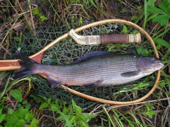 Необычные факты о рыбе хариус
