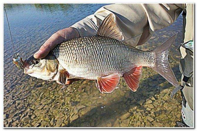 Ловля рыбца на дону осенью видео - рыба