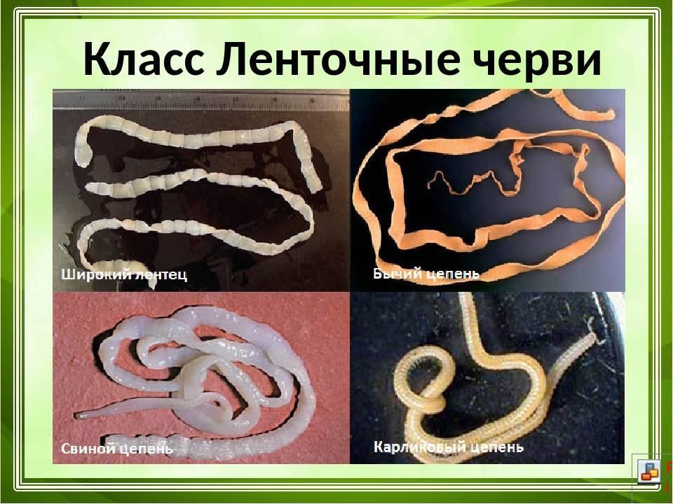 Рыбные паразиты опасные для человека - фото паразитов, как узнать, что рыба заражена