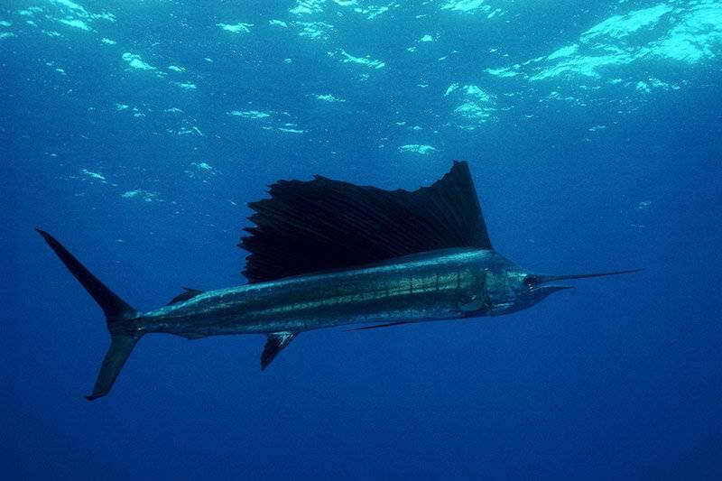 Самые быстрые рыбы в мире – список, скорость, названия, где водятся, фото и видео
