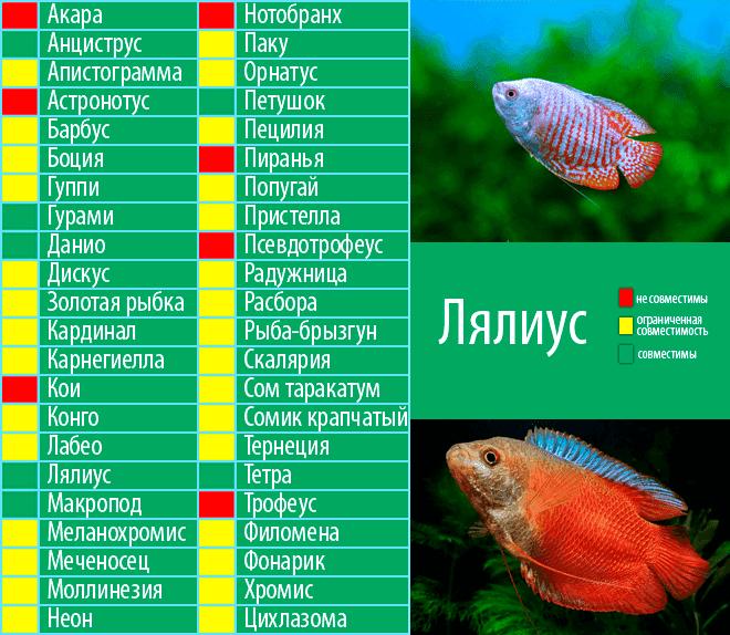 Совместимость тернеции с другими рыбами