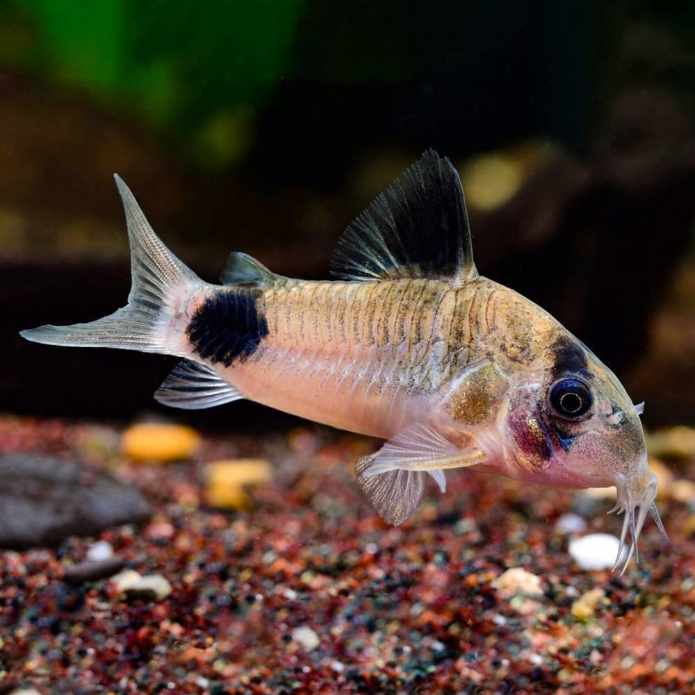 Коридорасы: виды сомов, аквариумное содержание, уход и кормление рыбок