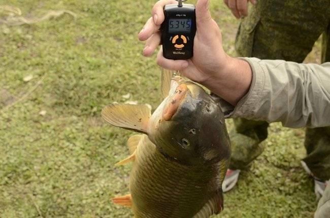 Опарыш для рыбалки