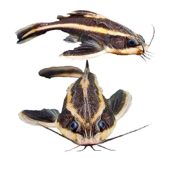 Платидорас полосатый — уход и содержание в аквариуме