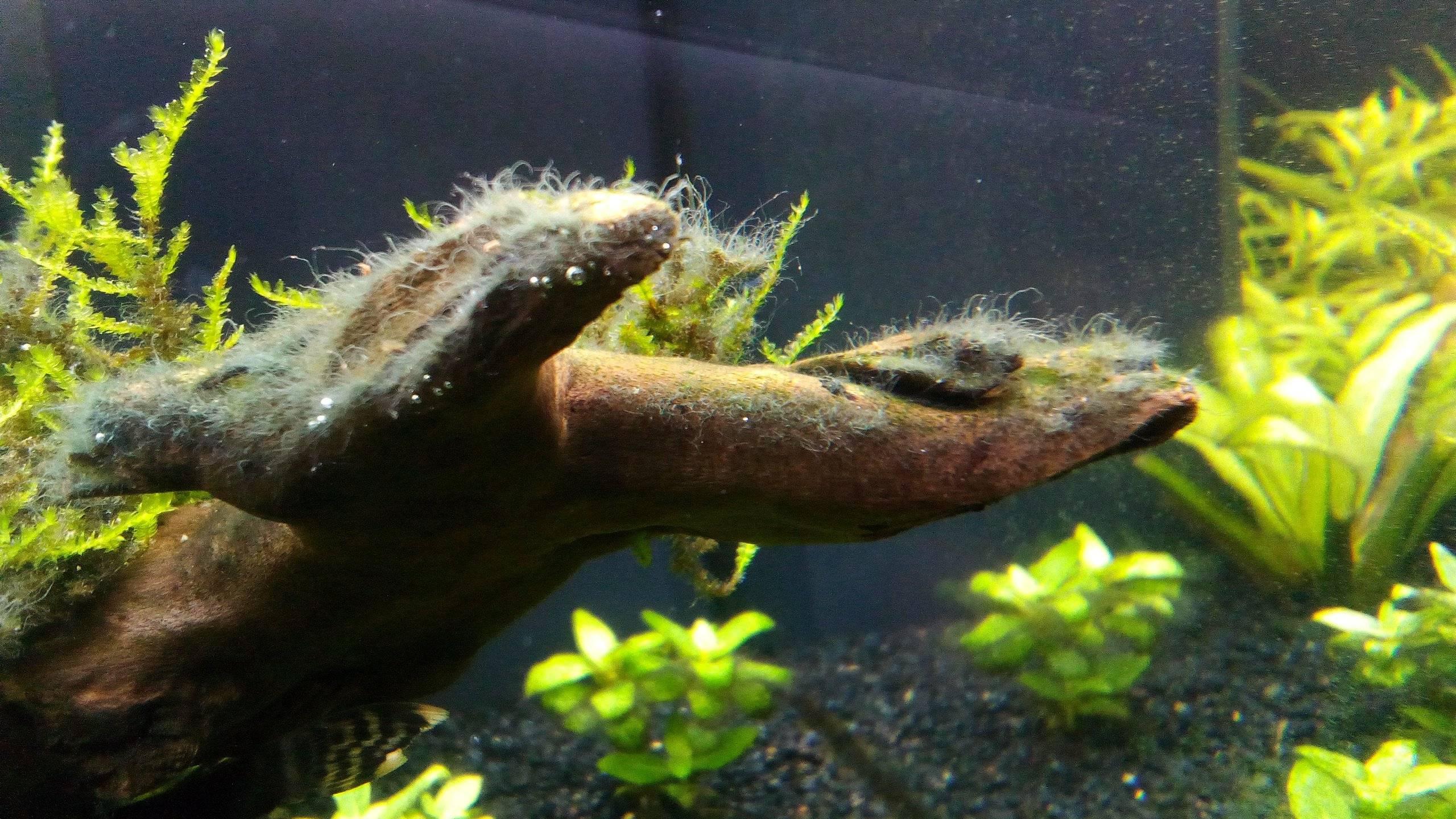 Черные водоросли в аквариуме: почему возникают и как с ними бороться?
