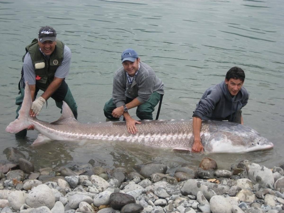 Рыба белуга: самая крупная из всех пресноводных рыб