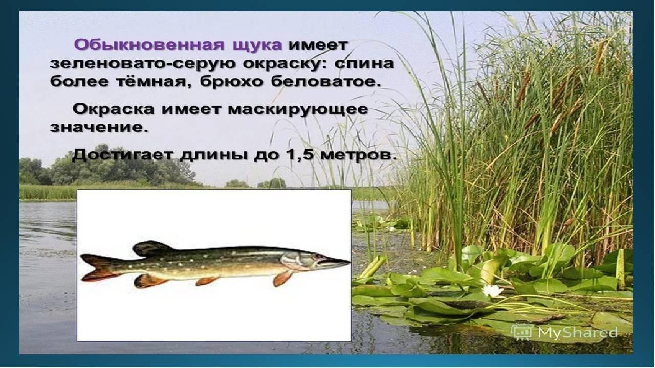 Щука рыба. образ жизни и среда обитания щуки