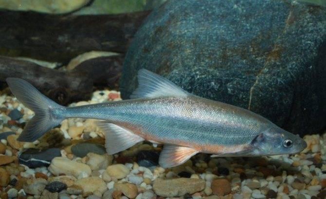 Рыба язь: описание, среда обитание, ловля, правила разведения