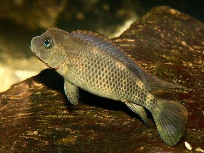 Анабас. рыба-ползун (anabas testudineus)