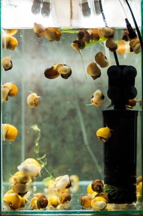 Улитка ампулярия размножение