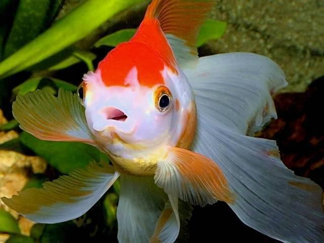 Золотая аквариумная рыбка вуалехвост