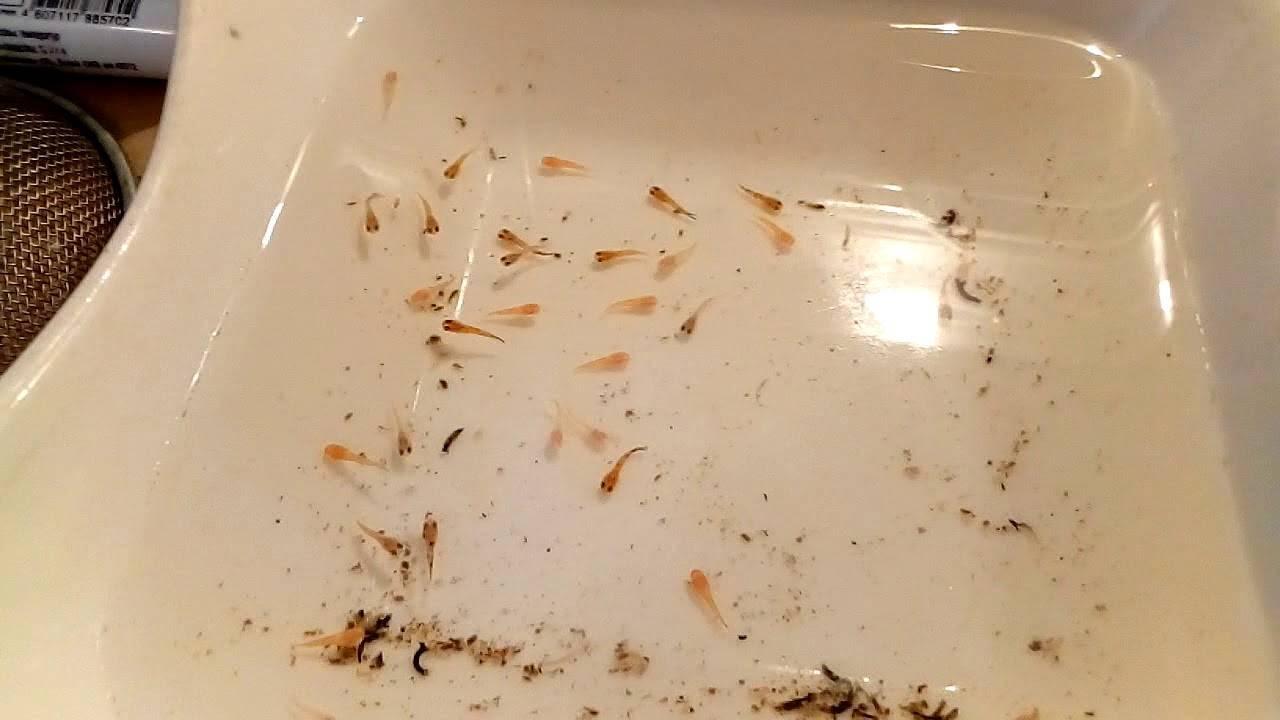 Меченосец: особенности содержания в аквариумных условиях, размер, разведение рыбок и уход за потомством